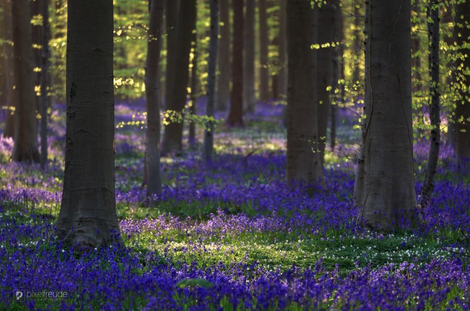 Frühling im Hallerbos/Belgien